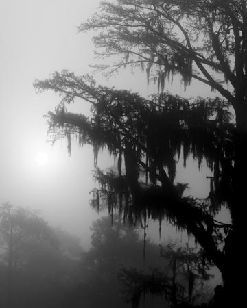 cypress tree in a lake mist clear water moody scene