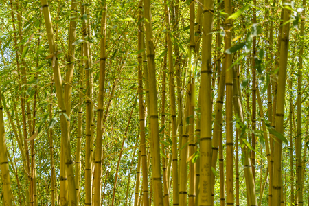 bamboo stalks all yellow and green forest background