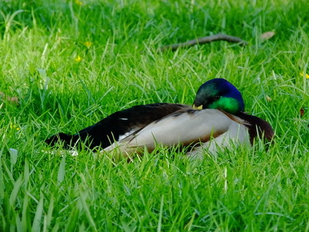 drakes: Drake - The male duck