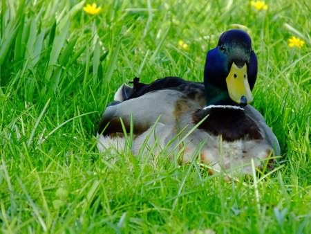 drake: Drake - The male duck
