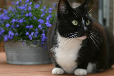 lobelia: Cat on garden table.