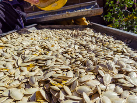 Scattered with a thin layer of pumpkin seeds will wither on a baking tray under the sun Standard-Bild