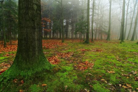 Old oak in a foggy autumn forest photo