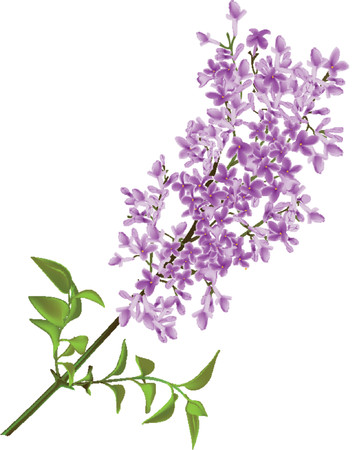 The branch of a lilac made in a vector. Mesh.