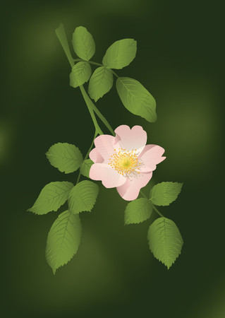 wildrose: Branch of a wildrose with leaves and a flower.