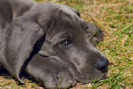 wrinkled brow:  Beautiful puppy of great dane Stock Photo