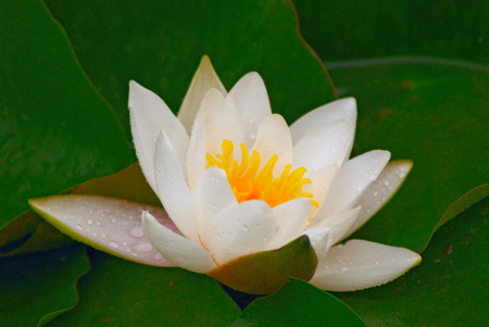 Flower of a water lily. A close up. Stock Photo - 1440377