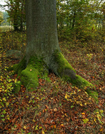 Trunk of an old oak in an autumn forest Stock Photo - 1797644