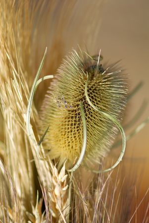 prickle: Prickle of a dry thistle. A close up