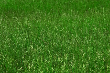 uncultivated: Green grass. Wild uncultivated field