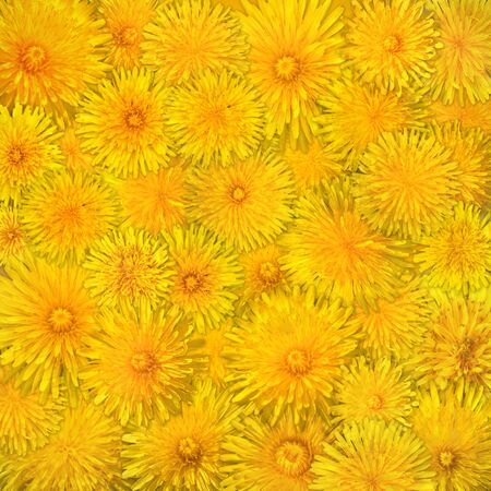 Background from dandelions. Stock Photo - 3075232