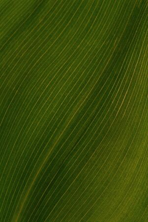 Green leaf of a lily of the valley. A close up. Stock Photo - 3075227