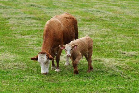 Photo of the breeding cow with calf on a meadow. photo