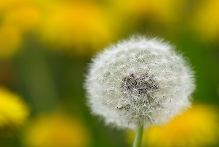 Close up of a dandelion on blurred yellow background photo