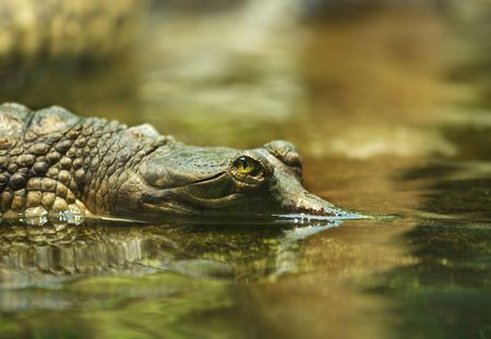 Floating young crocodile. Gharial. Close up Stock Photo - 3499481