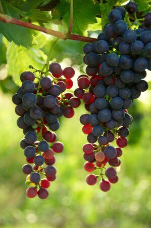 cabernet: Cabernet Grapes on the vine in a vineyard