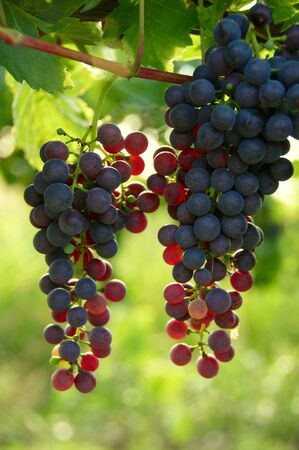 cabernet: Cabernet uvas en el vi�edo en un vi�edo