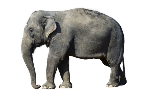 African elephant at the zoo, isolated on white background. Stock Photo - 3546273