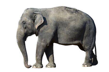 elefante: Elefante africano en el zool�gico, aislado en el fondo blanco. Foto de archivo