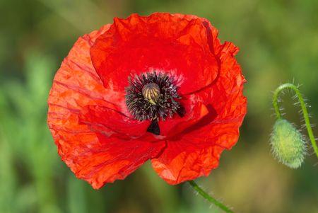 Rode papaver bloem close up