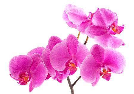 Zweigniederlassung eines lila Orchideen. Eine Nahaufnahme.