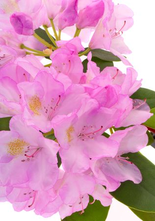 Pink flowers of a rhododendron on a white background photo