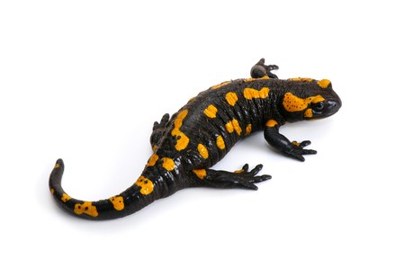 Fire Salamander (Salamandra salamandra. Salamandra maculosa) on a white background