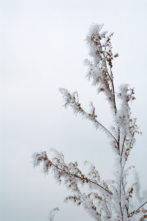 Winter bush branch in hoarfrost. November. photo