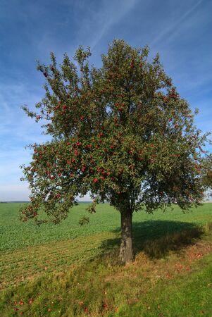 Apple tree on summer day photo