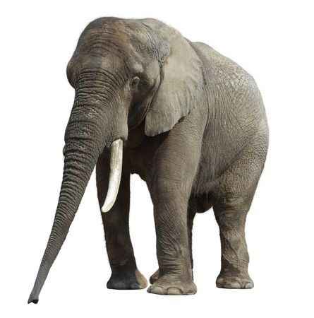 power walking: African elephant at the zoo, isolated on white background. Stock Photo
