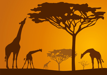 Silhouettes of giraffes in national park in sunset background Ilustração