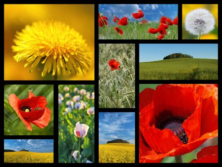 A collage of photos from the summer flowers. Poppy, dandelion, rape photo