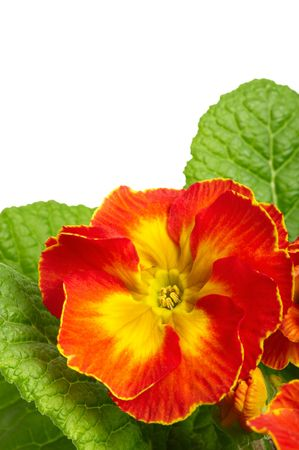 Flowers of orange begonia. Macro Stock Photo - 4640767
