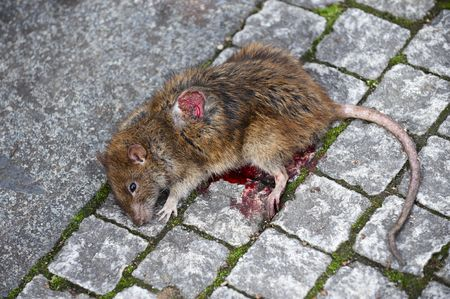 Close up of a dead rat, with its eyes open, on sidewalk  photo