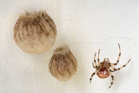 The female spiders Araneus marmoreus guarding their nests photo