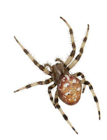 The female spiders Araneus marmoreus. Macro. On white background.  Stock Photo - 7227535