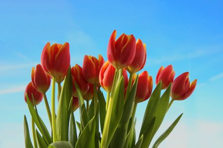 Bunch of red tulips and clean blue sky photo