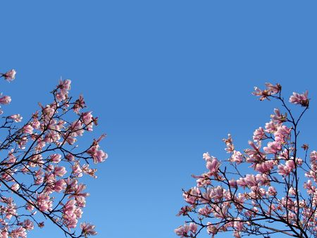 Beautiful pink flowers. Blue bright sky. Branches. photo