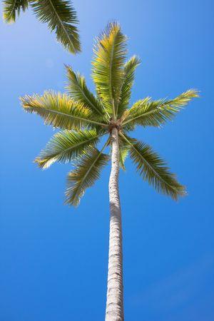 palmtree: Single palmtree, Tropical blue sky. Carribbean. Sunny day. Stock Photo