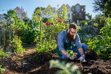bearded millennial harvesting beets in an urban communal garden