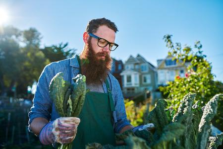 urban gardening: inspecting kale plants inside of urban communal garden Stock Photo
