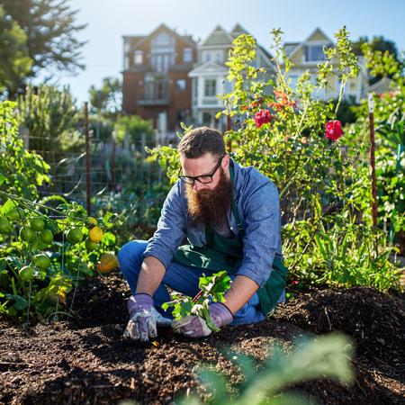 millennial: picking beets in urban communal garden Stock Photo