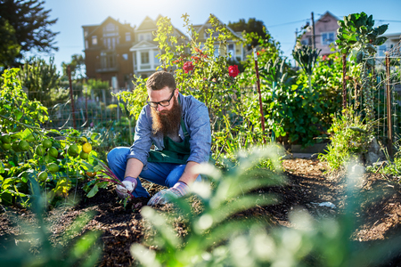 urban gardening: pulling beets out of the ground in urban communal garden