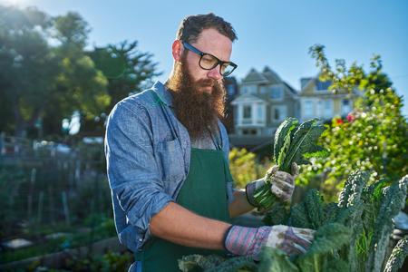 tending: bearded man with glasses tending to urban garden Stock Photo