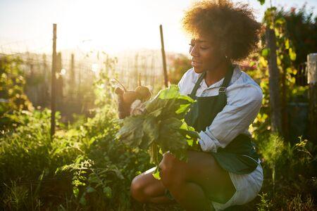 Joven mujer milenaria afroamericana tirando de remolacha dorada de la suciedad en el jardín urbano comunal
