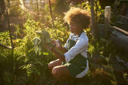 Young african american millennial woman pulling golden beets from dirt in communal urban garden Standard-Bild