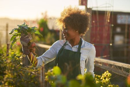 Young african american woman inspecting beets just pulled from the dirt in community urban garden Standard-Bild