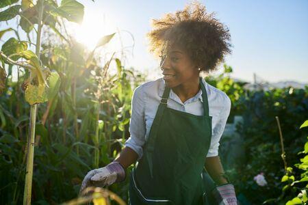 African american gardener tending to crops in communal garden