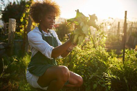 African american millennial woman pulling golden beets from dirt in communal urban garden Stock Photo