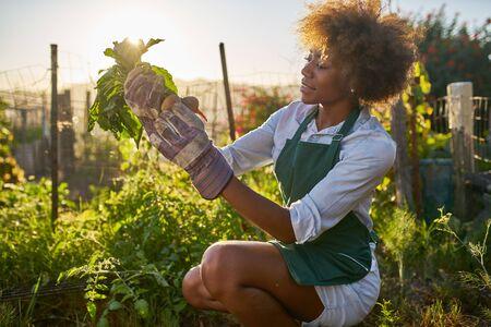 African american millennial woman pulling golden beets from dirt in communal urban garden